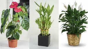 indoor plants india 10 easy to grow indoor plants in india youtube