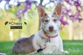 3 legged australian shepherd otey family web site home
