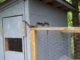 snake problems backyard chickens