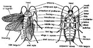 cockroach thorax assignment cockroach thorax homework