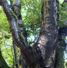 paper birch tree essence flower essences flower remedies tree
