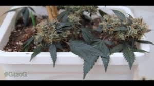 small plants big buds harvest montage youtube