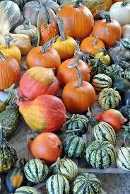 harvesting the season u0027s pumpkins the martha stewart blog