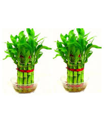 green plant indoor plants u0026 gardening prices in india wed oct 25