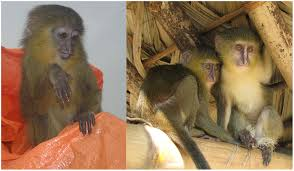 frontiers of zoology new african monkey species