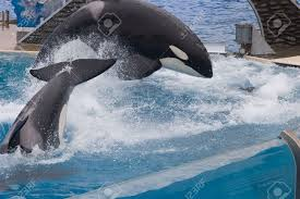 shamu is the stage name of seaworld u0027s iconic orcas killer whale