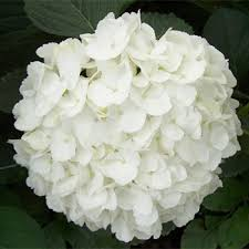 white hydrangeas white hydrangeas for reception centerpieces other wedding