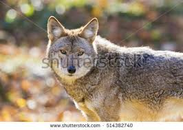 Can Coyotes See Red Light Coyote Stock Images Royalty Free Images U0026 Vectors Shutterstock