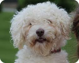 bichon frise breeders in pa scrappy adopted dog mount gretna pa bichon frise poodle