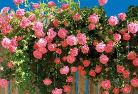 60 seeds pink climbing roses china new live fresh seeds diy