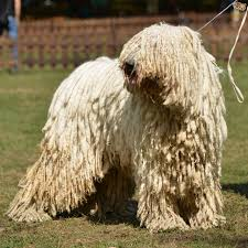 dog breeds with dreadlocks pets4homes