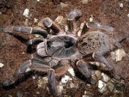 august 2015 tarantula of the month ceratogyrus darlingi tarantulas