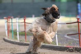 afghan hound agility gruppo padano levrieristi news