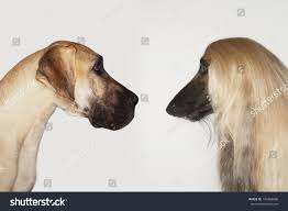 afghan hound in apartment side view great dane afghan hound stock photo 145268680 shutterstock