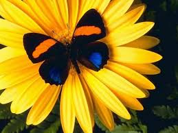 butterflies images butterfly on a flower hd wallpaper and