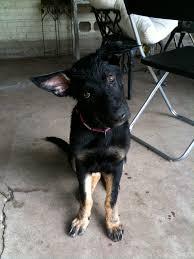 belgian shepherd ears stand up when do the german shepherd ears stand up u2013 merry dog life photo blog