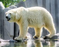 25 polar bear dogs ideas baby polar bears