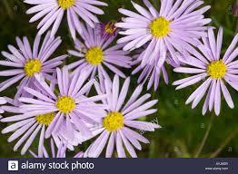 australian native plants with purple flowers cut leaf daisy flowers native flora wimmera victoria australia