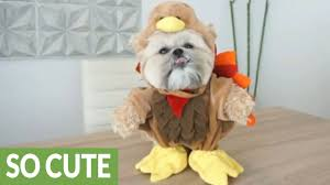 funny animal thanksgiving pictures happy thanksgiving from munchkin the teddy bear youtube