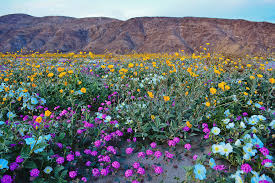 anza borrego super bloom anza borrego desert super bloom photograph by kyle hanson