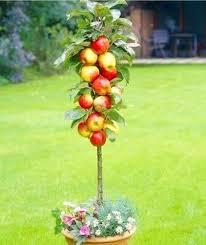 4 fruit bonsai fruit tree seeds vegetable and fruit seeds