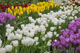 Types Of Garden Flowers - the surprisingly different types of tulips garden lovers club