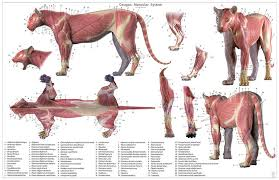 Dog Anatomy Poster Cheetah Anatomy Chart U2013 Jun U0027s Anatomy
