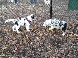 australian shepherd vs sheltie maia and merlot play wrestle cute australian shepherd and