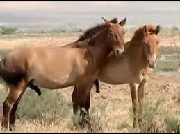 mustangs mating best mating pony mares breeds