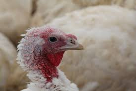 turkey shortage across the country could ruffle thanksgiving plans