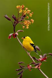 121 best ontario birds images on pinterest ontario birds and canada