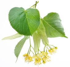 linden flower linden tilia benefits