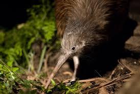 kiwi encounter orana wildlife park