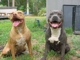 american pit bull terrier bully the truth about razor edge pit bulls u2022 american bully dog breed