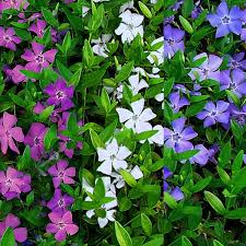 vinca flowers minor multi colour tricolour flowers evergreen lesser periwinkle