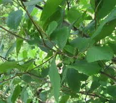 native plants of south carolina plants north carolina native plant society