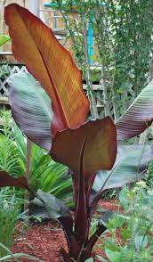 best 25 banana tree ideas on banana plants