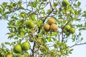 Types Of Plant Disease - lemon diseases and treatment u2013 tips for treating lemon diseases
