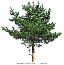 small pine tree stock images royalty free images vectors
