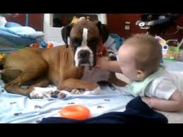 boxer dog youtube boxer giving baby kisses why boxers are the best dogs for kids
