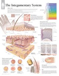 Human Anatomy Integumentary System The Integumentary System U2013 Scientific Publishing