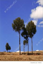Eucalyptus Trees Plants Eucalyptus Tree In Peru Stock Image I1620554 At Featurepics