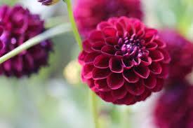 dalia in vaso fotos gratis naturaleza flor abierto prado púrpura pétalo