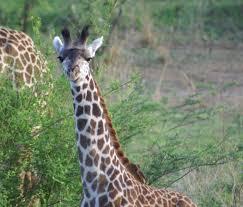 south luangwa u0027s thornicroft u0027s giraffes africa geographic