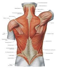 Human Vertebral Column Anatomy Anatomy Organ Pictures Human Back Anatomy Images Collection