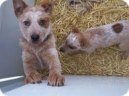 australian shepherd red heeler mix zip adopted puppy chewelah wa australian cattle dog blue