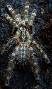 poecilotheria subfusca