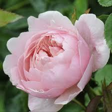 what u0027s in bloom the alnwick garden