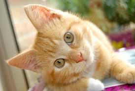 alimentazione casalinga gatto alimentazione un alleato contro l artrite gatto