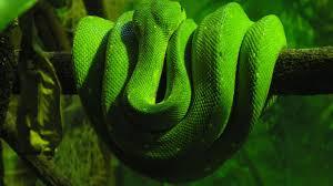 a green snake wallpapers green snake wallpaper wallpapersafari